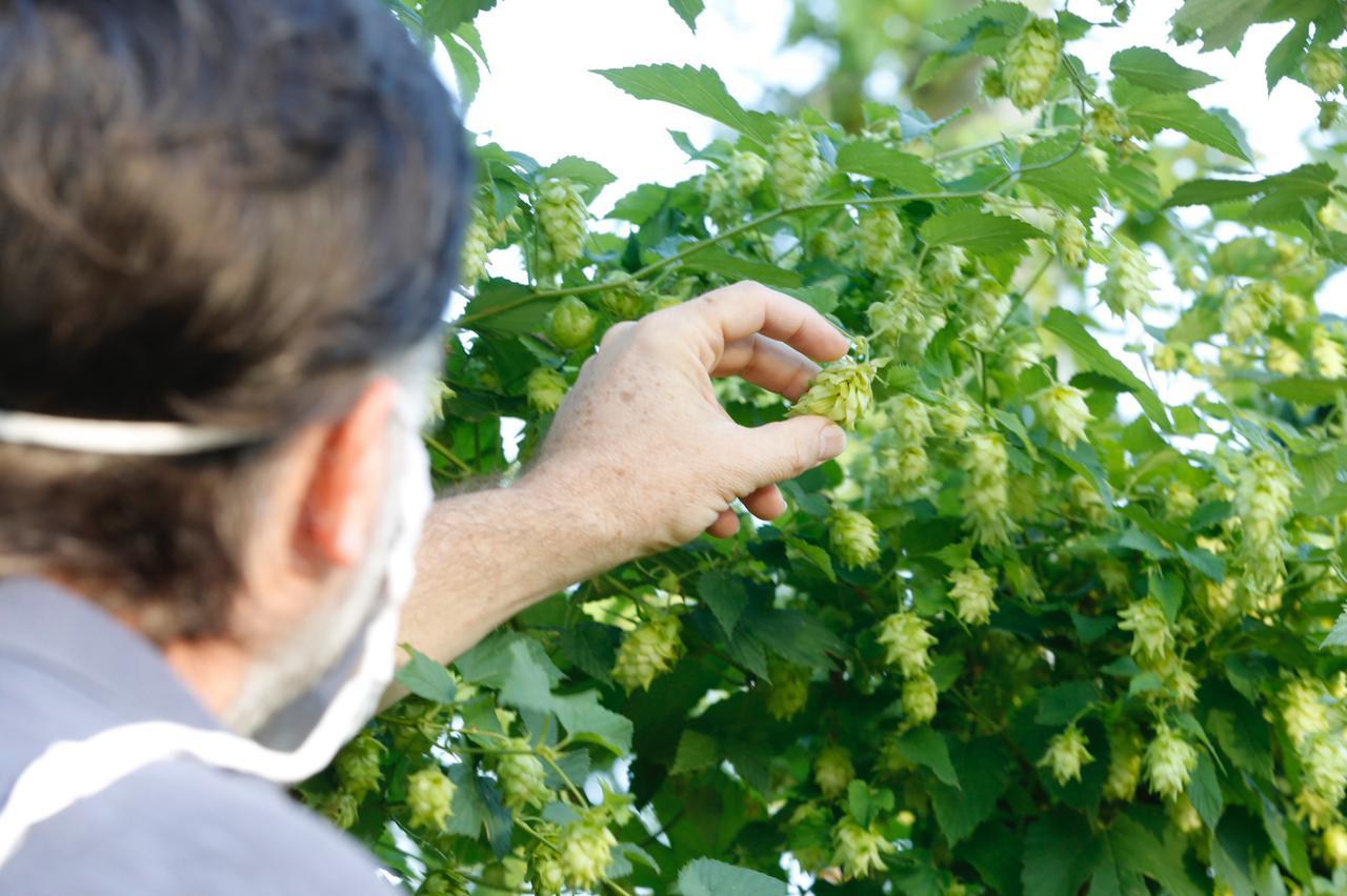 Prefeitura realiza primeira colheita experimental de lúpulo
