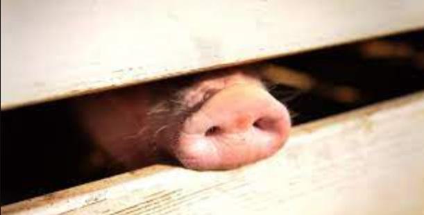 Mutação genética faz porco nascer apenas com um olho e sem nariz em SC