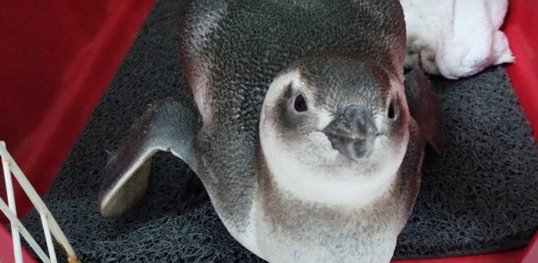 Pinguim-de-Magalhães é resgatado em praia de SC