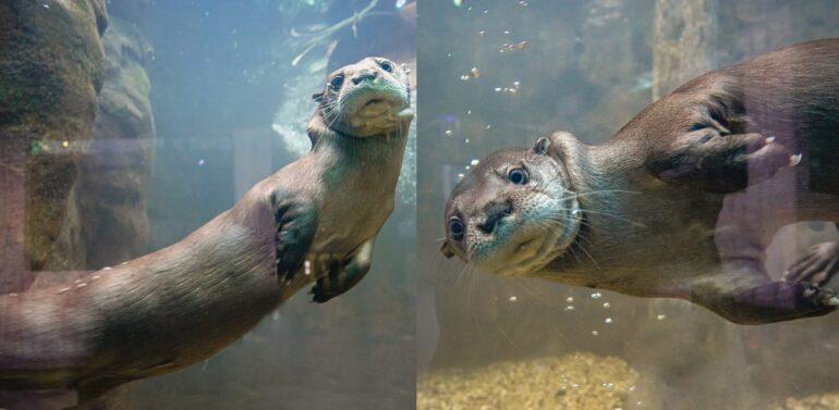 Oceanic Aquarium apresenta a Semana da Lontra em alusão às datas comemorativas da espécie