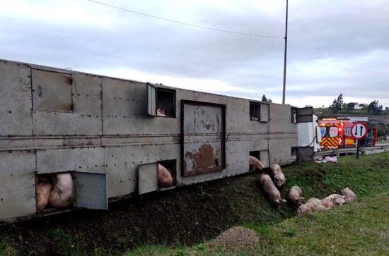 Caminhão com carga viva de suínos tomba na BR-116
