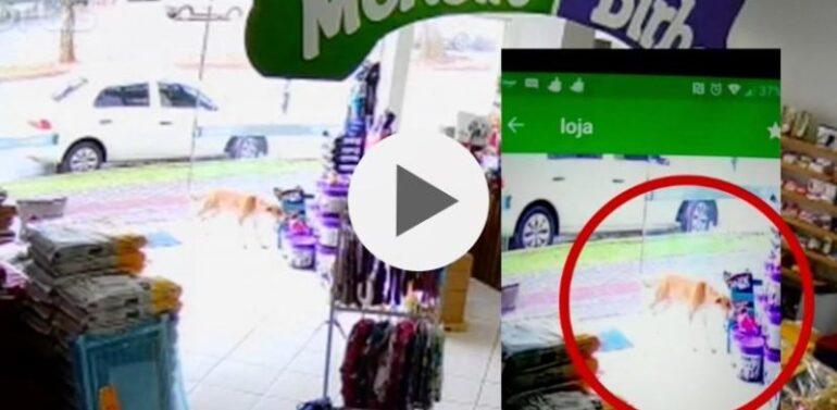 VÍDEO : Cachorro é flagrado ao 'furtar' brinquedo de pelúcia em loja no Oeste