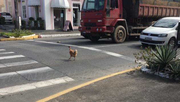 Educação no trânsito: Galinhas viralizam após atravessar na faixa de pedestre