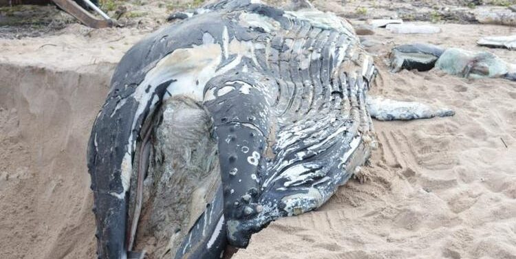 Baleia-jubarte de 7 metros é encontrada morta em Araquari