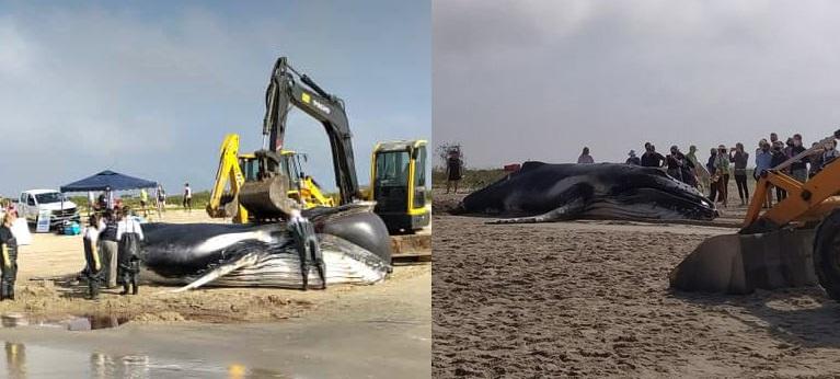 Baleia-jubarte é encontrada morta em praia de Itapoá