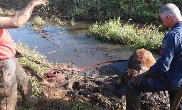 Fotos: Bombeiros resgatam vaca atolada em Barra Velha