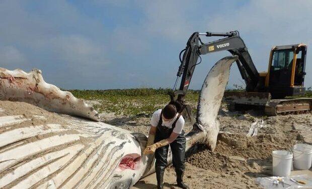 Baleia-jubarte encontrada morta em Itapoá tinha lixo plástico no estômago