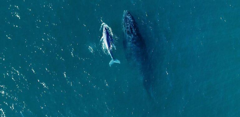 Visita de baleias no litoral reforça risco de redes ilegais de pesca