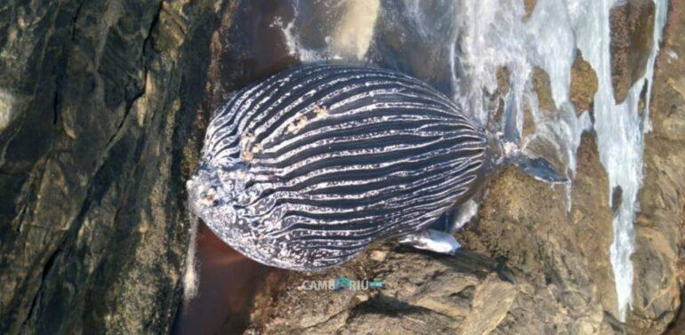 Baleia presa em rede de pesca aparece morta em praia do Litoral Norte