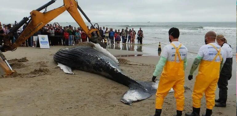 Baleia jubarte é encontrada morta com marcas de rede de pesca em Itapoá
