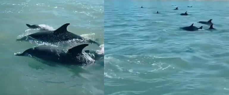 VÍDEO : Grupo de 50 golfinhos da espetáculo em praia do Litoral Norte