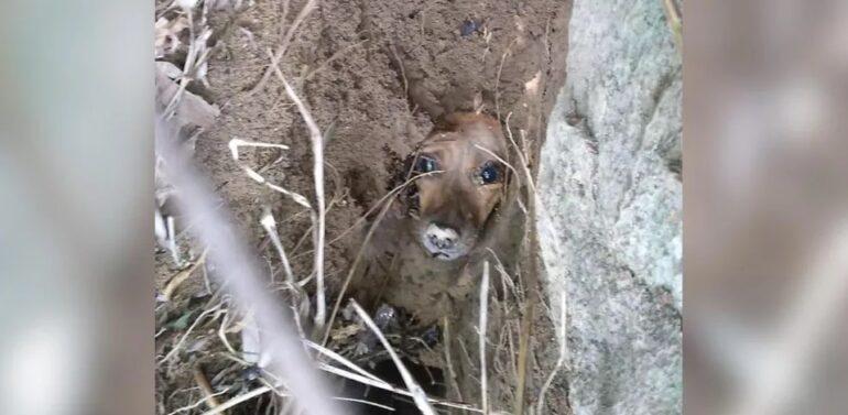 Cachorrinha é resgatada com vida após ficar dois dias enterrada em buraco