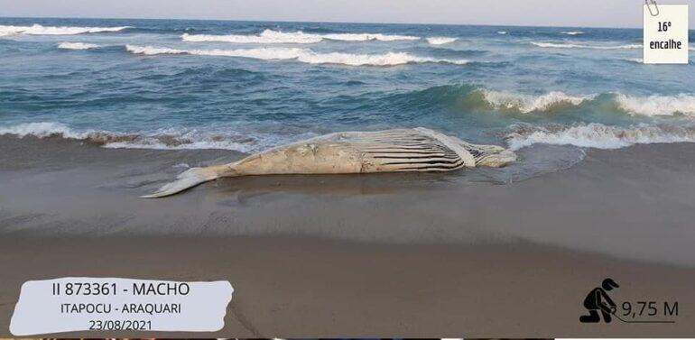 Quatro baleias-jubarte são encontradas mortas no Litoral Norte