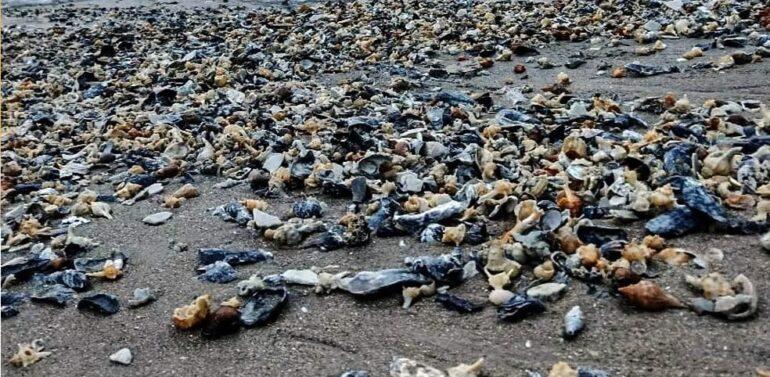 Conchas chamam atenção durante alargamento de praia no Litoral Norte