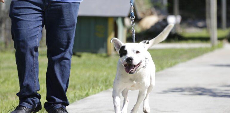 CBEA alerta sobre aumento dos casos de abandonos de pit bulls